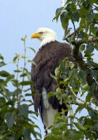 Bald Eagle in Tree - Hillebrand, Steve - usfws_small